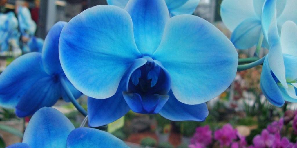 O mistério da famosa orquídea azul
