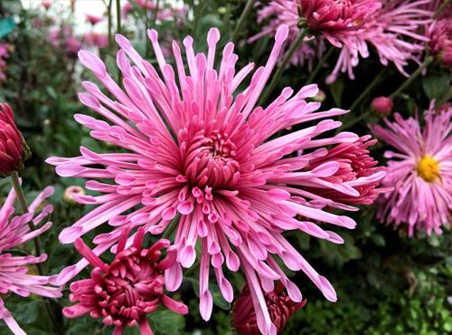Crisântemo: Flor da alegria e da saúde!