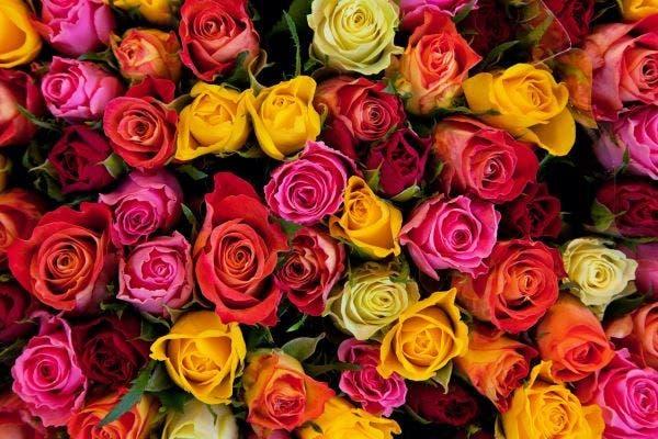 O Significado de Algumas Cores de Rosas e Momentos Ideais para Presentear